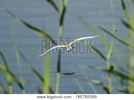 Squacco Heron Flying Over River Through Reeds