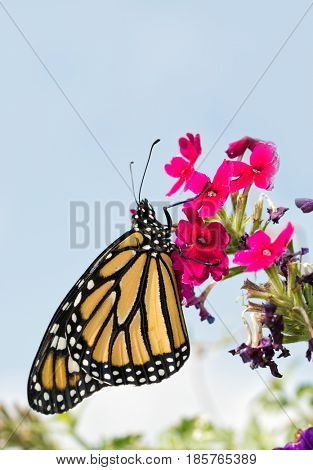 Monarch butterfly resting on magenta flowers, with light blue sky on background - with copy space on top