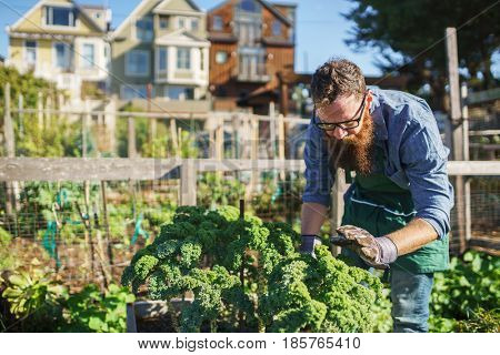 man tending to kale plants in communal urban garden