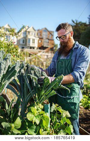 bearded man inspecting kale crops in communal urban garden