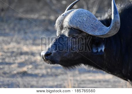 Picture of an African buffalo in private reserve in South Africa.