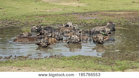 Herd Of Domesticated Water Buffalo Livestock In Water Hole