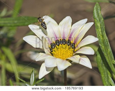 Honey Bee Collecting Pollen On A White Daisy Flower