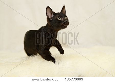 Blac bengal cat kitten on a lamb skin