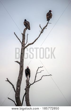 Three Turkey Vultures perched in a dead tree