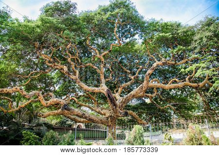 Twisted branches of acacia tree Vachellia leucophloea in Mingun, Myanmar. (Burma)