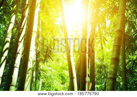 Asian bamboo forest landscape view with beautiful morning sun flare.