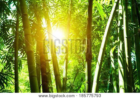 Asian bamboo forest view with beautiful morning sun flare.