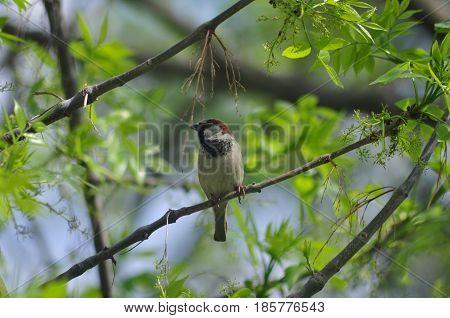 Sparrow Bird Nature Sparrow on a branch Spring Birds of Russia Small birds