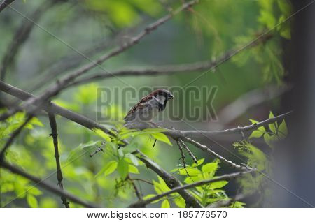Sparrow Bird Nature Sparrow on a branch Spring Birds of Russia Small birds
