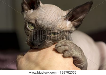 kitten bald cat of breed the canadian Sphinx bites the hand