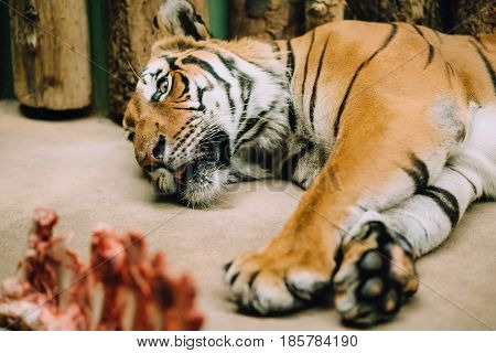 The tired Bengali tiger lies in a zoo on the ground with his tongue hanging out, next to a piece of raw meat, behind a wooden background