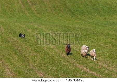 Herding Dog Moves Group of Sheep (Ovis aries) In From Pasture - at sheep dog herding trials