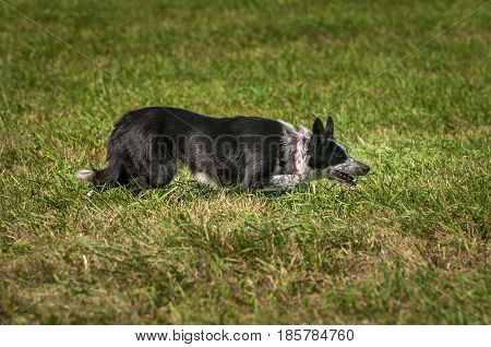 Stock Dog Stalks Right Low to Ground - at sheep dog herding trials