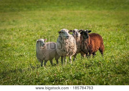Four Sheep (Ovis aries) Stand Looking Right - at sheep dog herding trials
