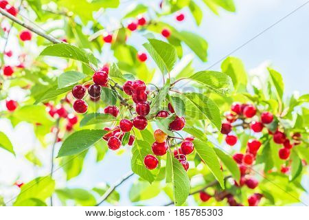 Red cherries on a branch with green leaves in the garden on a sunny summer day backlit. Selective focus