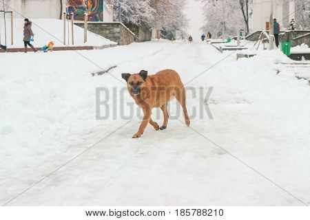 The poor dog walking on the snow ground and looking on camera with the disappointed eyes