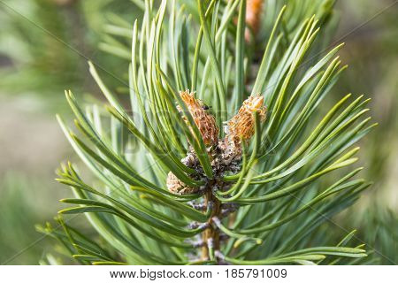 close up of a branch fir tree leaves at the sunshine pinecone evergreen
