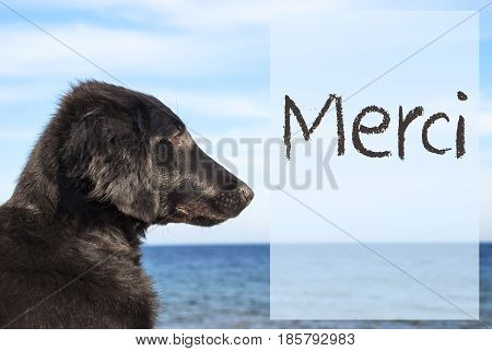 French Text Merci Means Thank You. Flat Coated Retriever Dog Infront Of Ocean. Water In The Background
