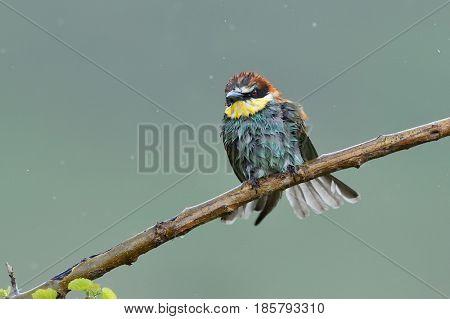 european bee-eater (Merops Apiaster) in natural habitat on rainy day