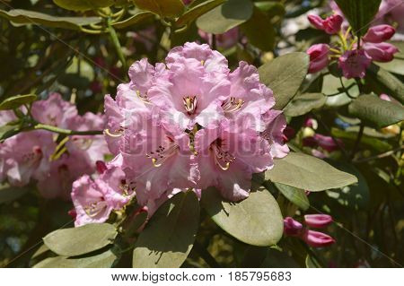 A vew of Rhododendron Christmas Cheer flowers