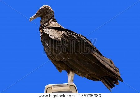 A Black Vulture Latin name Coragyps atratus