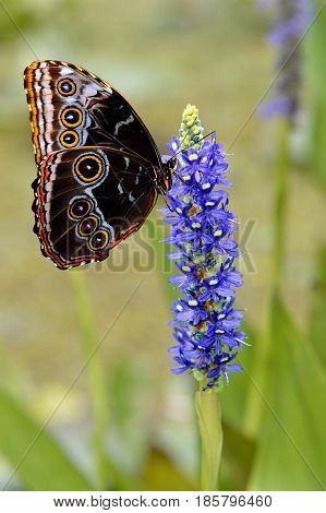 Blue Diadem Butterfly on a Dactylorhiza marsh orchid or spotted orchid