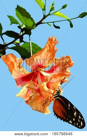 Butterfly Heliconius hecate on a Hibiscus rosa senensis Double Orange flower