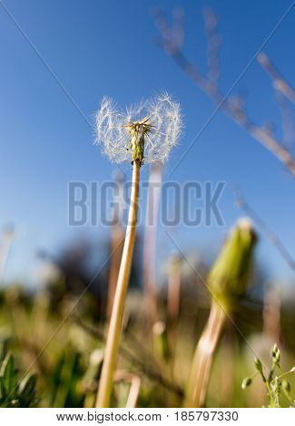 Beautiful fluffy dandelion on a glade in nature