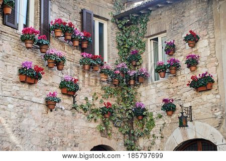 Beautiful purple, pink, and magenta potted flowers and ivy on the side of a house in Assisi, Italy