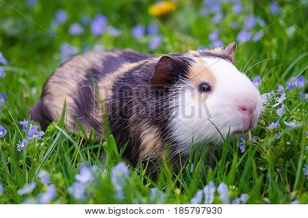guinea pig walks in the fresh air and eating green grass