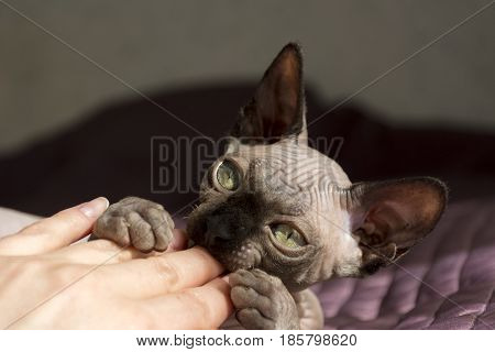 canadian Sphynx kitten baby playing with a hand cat female