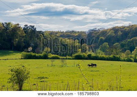 Black And Brown Horses Walking Over Grassland And Old Forrest
