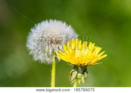 Blowball Dandelion Seed Head Flower Blossom White Green Spring Seeds Yellow