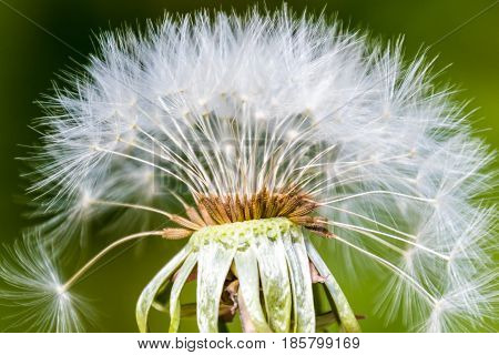 Blowball Macro Dandelion Seed Head Flower Blossom White Green Spring Missing Seeds