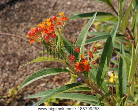 Asclepias curassavica or tropical milkweed in full blossom, selective focus on the flower, partially blurred