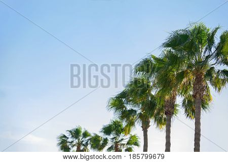Natural Array of Tall Green Palm Trees