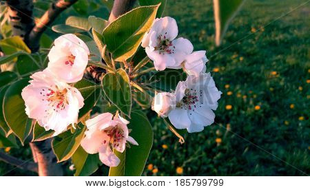 Flowering branch of a pear in the spring flowers of a pear close-up in a blooming spring garden blurred background