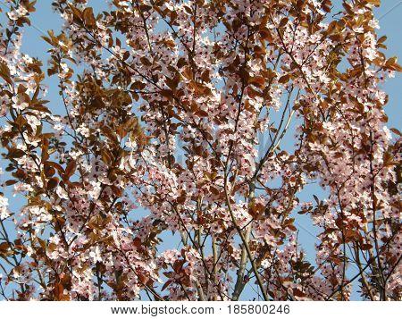 Very beautiful sakura in the spring.