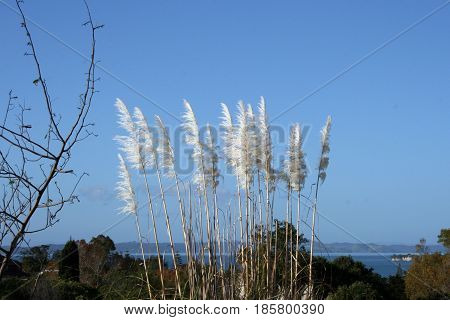 Toetoe feathery tussock grass with blue sky and water in background
