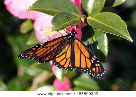 Distinctive orange and black wings of a Monarch butterfly
