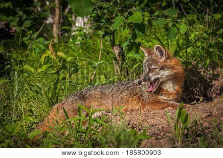 Grey Fox Vixen (Urocyon cinereoargenteus) Lies Down Looking Left - captive animal