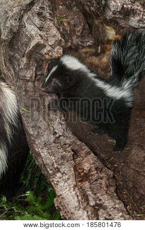 Striped Skunk Kit (Mephitis mephitis) Peers Over Log At Mother - captive animals