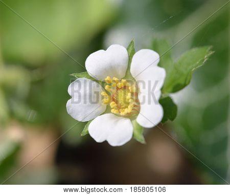 Barren Strawberry - Potentilla sterilis Small white flower