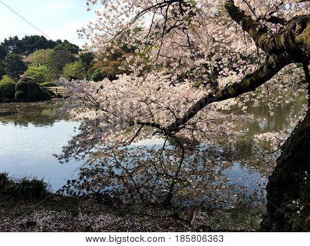 Spring sakura bloom in Tokyo city park near the pond