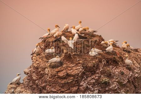 Wild Migrating Gannets In Island Helgoland At Sunset, Germany