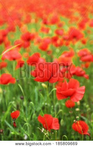 Field of red poppies close up view