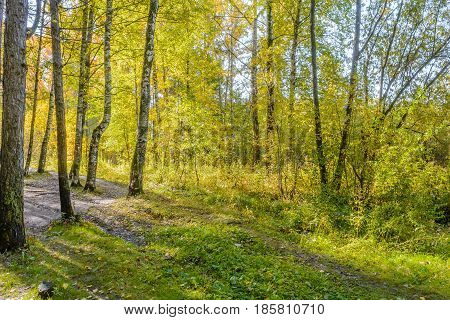 Autumn Early autumn Forest Grove Pine tree Pines Rays of sunlight Sunlight Sunlight in the branches Trees