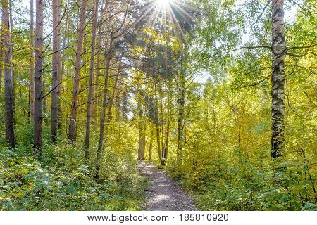 Autumn Early autumn Forest Forest Path Grove Path In The Woods Pine tree Pines Rays of sunlight Sunlight Sunlight in the branches Trees