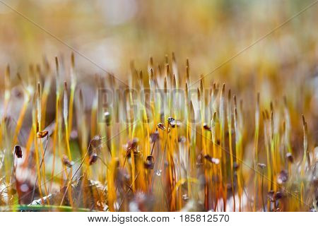 Blooming Springtime Moss In Blurry Close Up